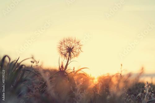 Poster Dandelion Dandelion