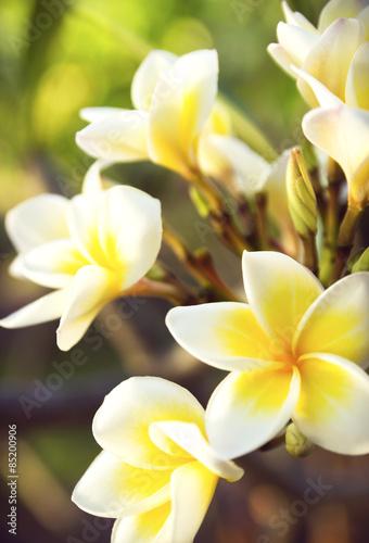 Keuken foto achterwand Frangipani white plumeria