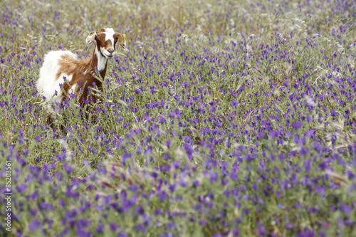 Capra in un prato di fiori viola - Buy this stock photo and explore ...