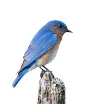 Male Eastern Bluebird On White...