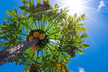 Sunlight Required. A Papaya Tree With Ripe And Unripe Fruit Thrives Under Bright Sunlight.