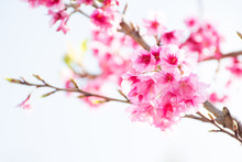Wild Himalayan Cherry (Prunus Cerasoides) Blooming In Northern T