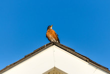 Robin On The Roof