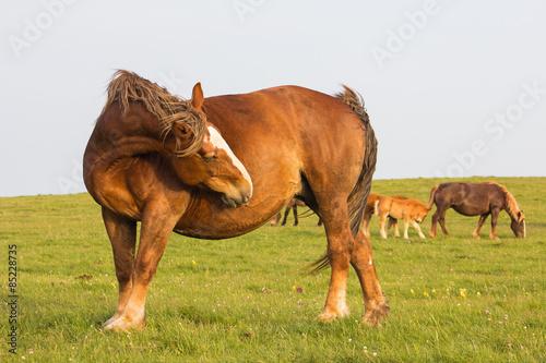 Fototapeta Ritratto di un cavallo che si gratta la pancia obraz