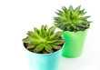aloe and echeveria succulent plants on white background, still life photo, selective focus