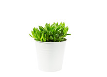 Haworthia Succulent Plant In White Pot On White Background With Shadow