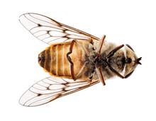 Dead Bee Or Fly Lying On Back In Macro