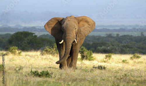 A huge elephant bull approaches in golden light