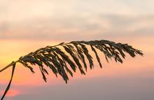 Sea Oats Against Rising Sun In Florida