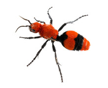 Cow Killer Or Velvet Ant In Is...