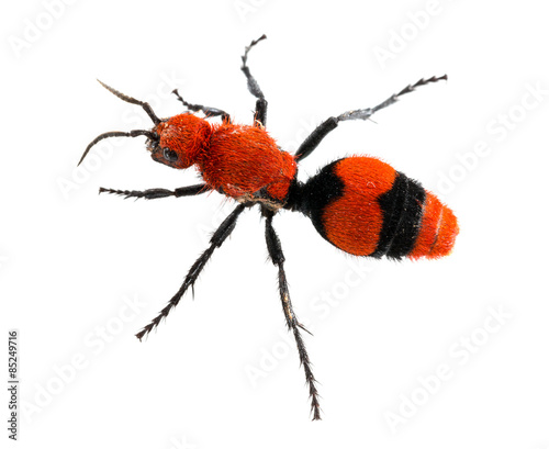Fotografie, Obraz  Cow Killer or Velvet ant in isolated macro