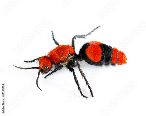 Fotografie, Obraz  Cow Killer or Velvet ant in isolated macro