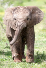 Cute Baby Elephant Calf In This Portrait Image From South Africa