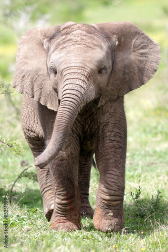 Foto op Aluminium Olifant Cute baby elephant calf in this portrait image from South Africa