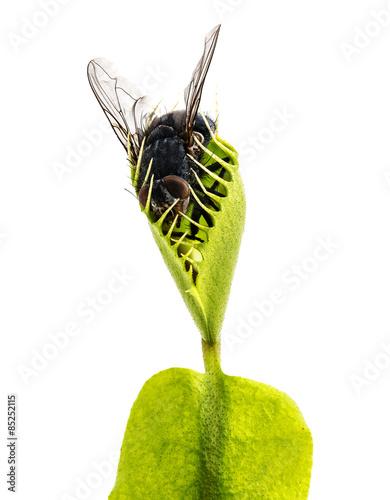 Fotografia Venus flytrap - dionaea muscipula with trapped fly