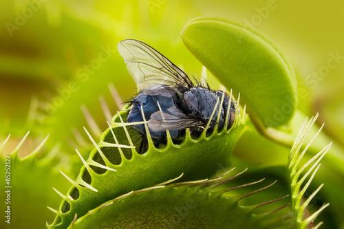 Carta da parati Venus flytrap - dionaea muscipula with trapped fly
