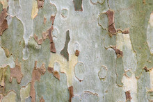 Bark Texture Background, Australian Eucalyptus Tree