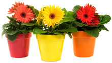 Group Of Gerbera Daisies In Three Pots Isolated On White Background