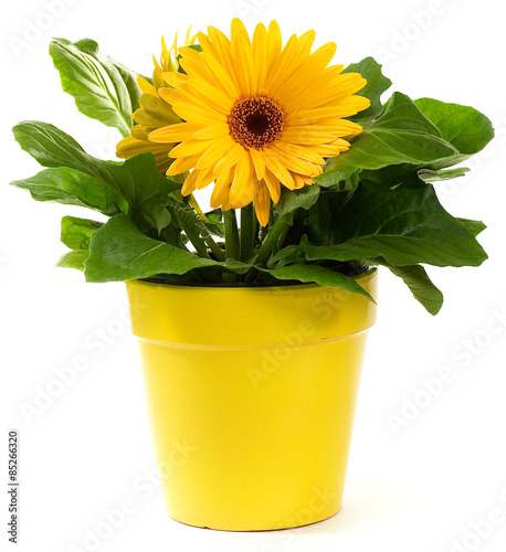 Poster de jardin Gerbera Yellow Gerbera Daisy in a yellow plant pot on white background.
