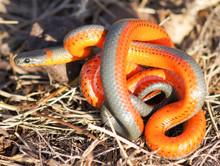 Monterey Ring-necked Snake. Mo...