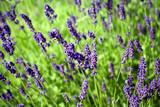 Lavender flowerbed - 85271794