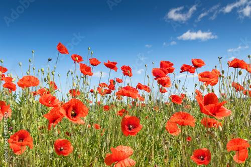 Fotobehang Poppy poppy flowers on the field.