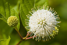 Flower Or Cephalanthus Occidentalis, Known Also As Button Bush.