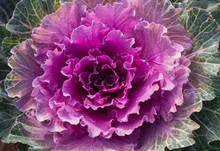 Head Of Ornamental Cabbage