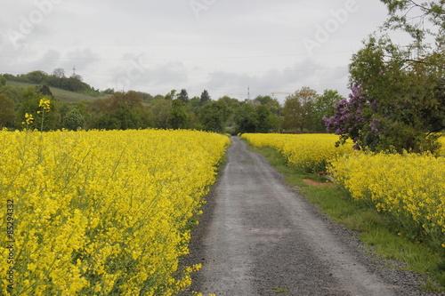 rapeseed field #85294332