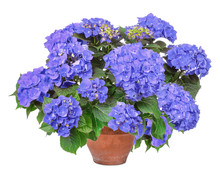 Blue Hortensie, Hydrangea, Iso...
