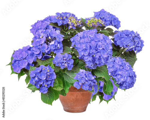 Photo sur Toile Hortensia Blue Hortensie, hydrangea, isolated