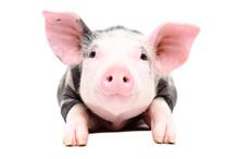Portrait Of The Adorable Little Pig
