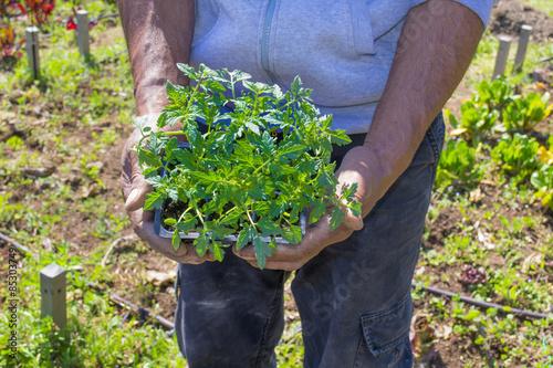 Foto op Canvas Olijfboom mani di contadino con piantine di pomodoro