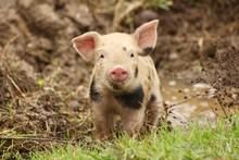 Cute Little Piglet