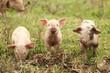 Leinwanddruck Bild - Three piglets