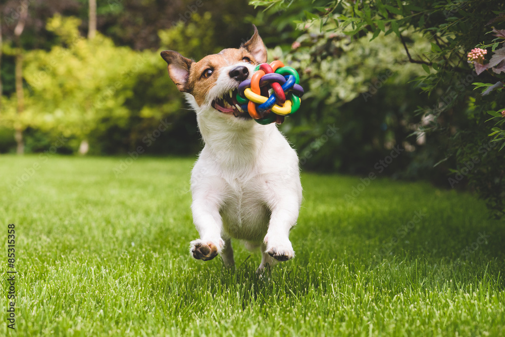 Fototapety, obrazy: Jack Russell running with a colourful ball