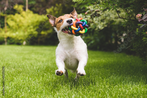 Poster Hond Jack Russell running with a colourful ball