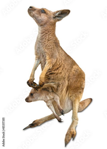Foto op Canvas Kangoeroe kangaroo with baby