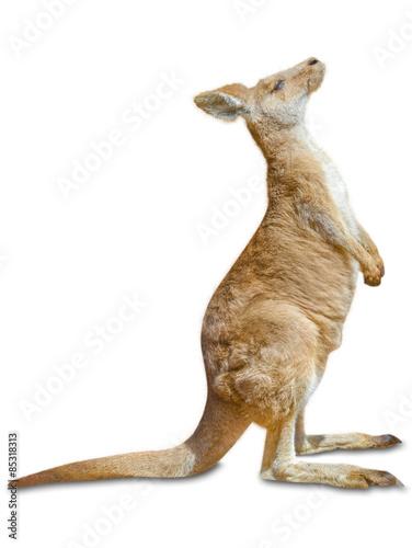 Fotobehang Kangoeroe Kangaroo standing