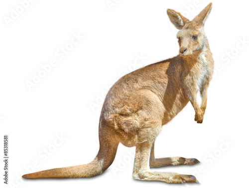 Papiers peints Kangaroo Kangaroo isolated