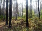 Sosnowy las jesienią