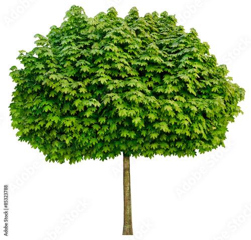 Photo Acer platanoides 'Globosum' (Kugel-Ahorn) Freigestellt,isoliert