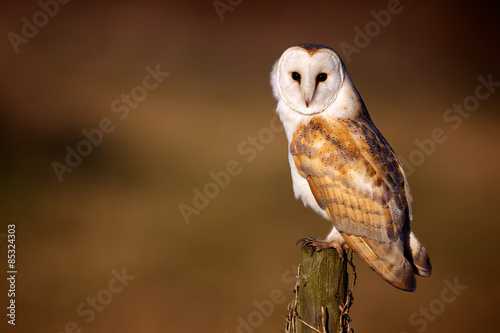 Keuken foto achterwand Uil Wild barn owl sitting on an old post