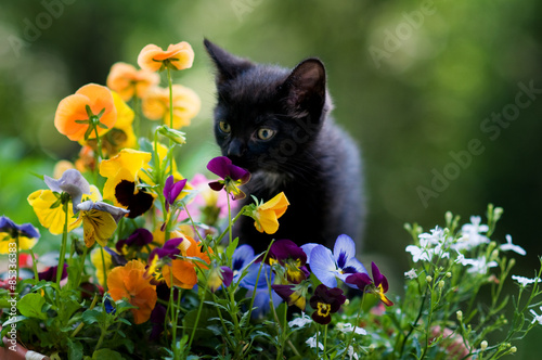 Papiers peints Pansies kitten smelling flowers