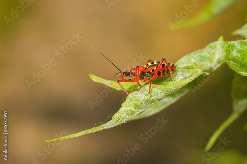 Specimen of Assassin bug (Reduviidae) sitting on a fresh leaf Poster