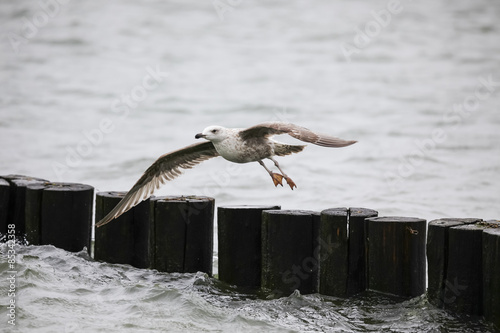 Germany, Fischland Darss Zingst, flying seagull #85342358