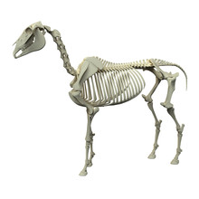 Horse Skeleton - Horse Equus A...