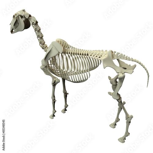 Horse Skeleton Back View - Horse Equus Anatomy Canvas Print