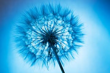 Obraz na Szkle Dmuchawce close up of dandelion