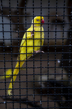 Yellow Parrot Trapped In A Cage.